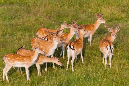 A herd of young deer are resting on the meadow photo