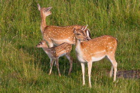 vigilant: two deer with vigilant risk offspring