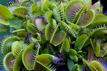 insectivorous plants: Venus Flytrap, Dionaea muscipula, Carnivorous plant occurs on nitrogen-poor soils
