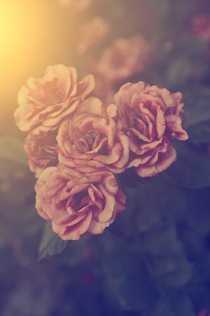 rose: Vintage rose