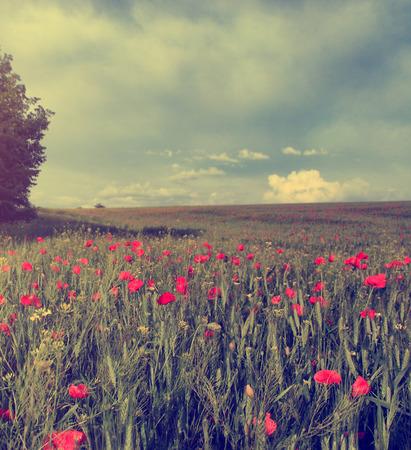 flower fields: Vintage photo of poppy field in sunset Stock Photo