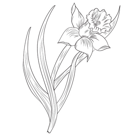 daffodils: vector illustration of Daffodil flower or narcissus isolated on white background Illustration