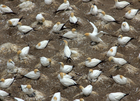 colony: Muriwai Gannet Colony in Auckland