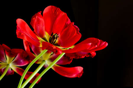 wilting: Red wilting tulips pattern on black background Stock Photo