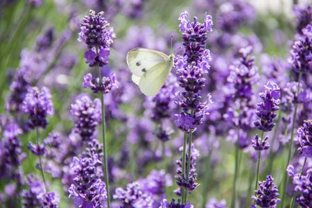 White butterfly on lavender inflorescence on a sunny day photo