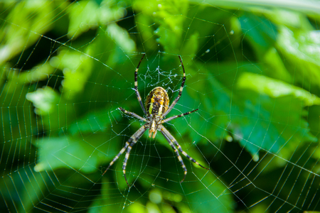 bruennichi: Yellow and black wasp spider Argiope Bruennichi sitting on its web Stock Photo
