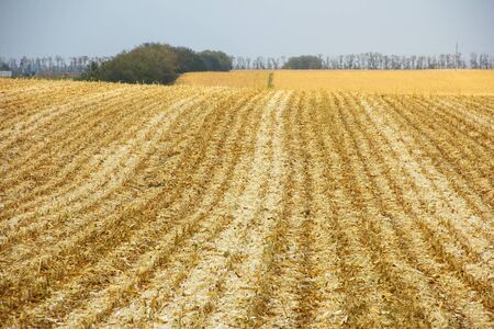 harvest: Beveled corn field stretches to the horizon, cloudy autumn day