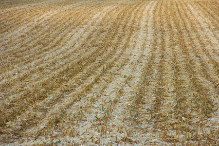 Corn field after harvest. Background.