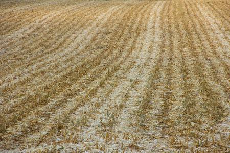 harvest background: Corn field after harvest. Background.