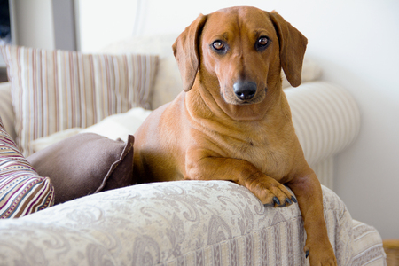 dangling: Young red-haired dachshund is resting on top of the sofa, legs dangling lazily