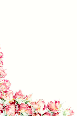 white roses: Background with roses isolated on white with sample text