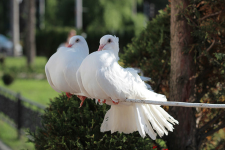 Two beautiful white dove, symbol of peace and love