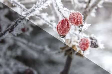 hoarfrost: Red rose-hip in winter under frost with ice crystals, light - dark diagonal Stock Photo