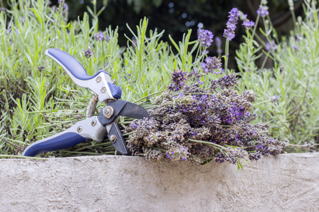 Cut dry lavender inflorescences and a garden pruner in the background of lavender bushes