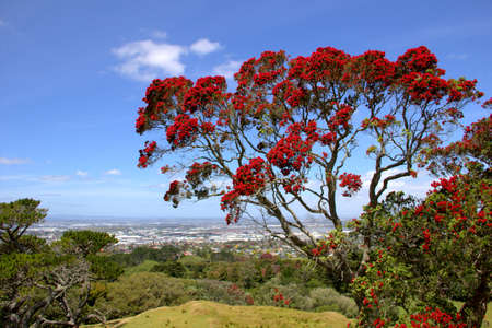 Blossoming pohutukawa tree Metrosideros excelsa, New Zealand christmas tree Stock Photo