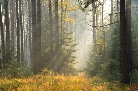 spruce tree: The picture was taken in misty spruce forest