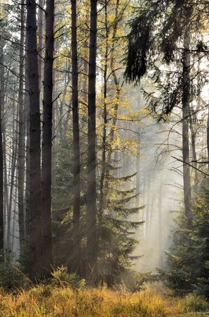 Photograph was taken in the foggy autumn spruce forest in the afternoon  photo