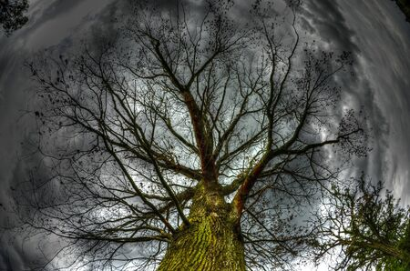 The photo shows an old oak crown in the rain, on a background of dark storm clouds  photo