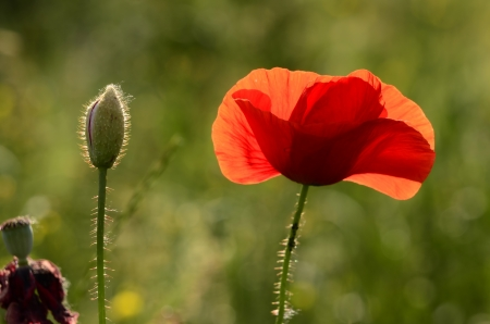 The photo shows a poppy flower on a blurred background of grain growing in a field