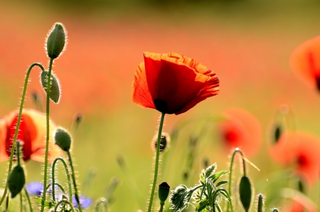The photo shows a poppy flower on a red, blurred background field  Stock Photo