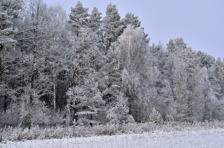 The photo shows a forest in winter, on a cold day, covered in snow and rime, under a cloudy sky  You can see pine trees, alder and birch  Stock Photo - 17089877