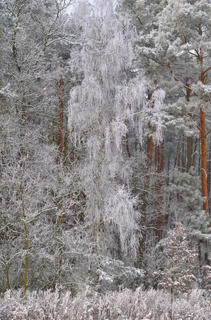 The photo shows a forest in winter, on a cold day, covered in snow and rime, under a cloudy sky  You can see pine trees, alder and birch Stock Photo - 17089875