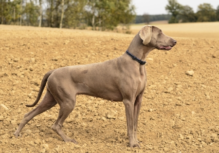 The photo shows Weimaraner in action and fun in the open air. Stock Photo - 17592786