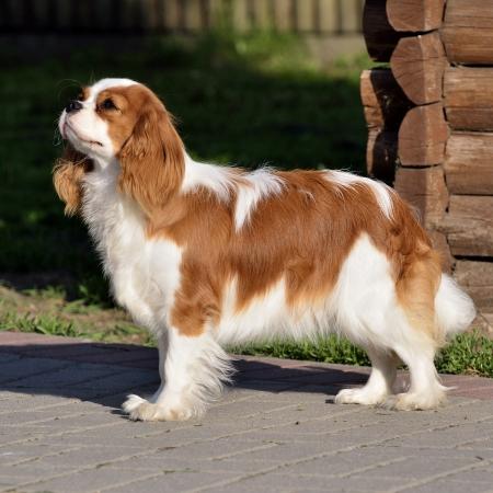 Photo present young cavalier king charles spaniel blenheim a coat  photo