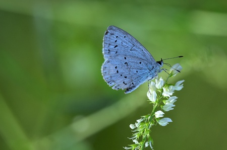cupido: This photo present cupido minimus butterfly on a white flower