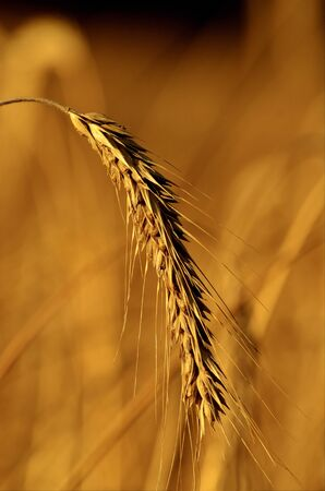 This photo present a single ear of rye on a blurred background Stock Photo - 17852687