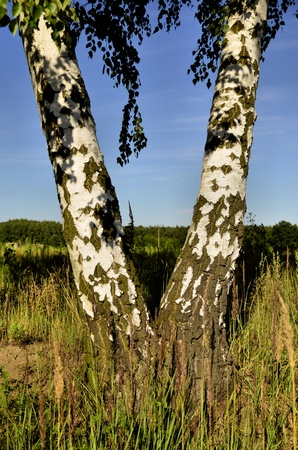 This photo present two birch fused in the shape of V