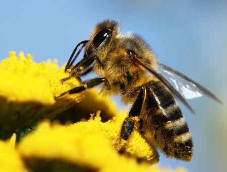 goldy: honeybee impollinate del fiore giallo Archivio Fotografico