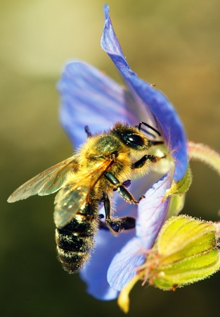 bee flower: honeybee pollinated of blue flower  Stock Photo