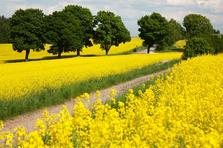 coleseed: field of rapeseed