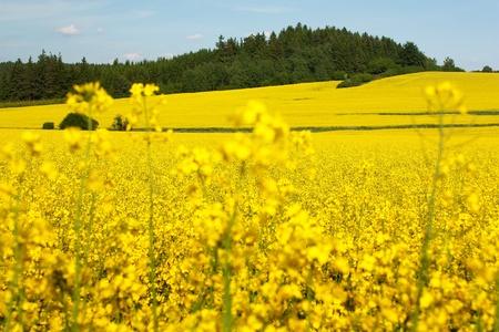 field of rapeseed  photo