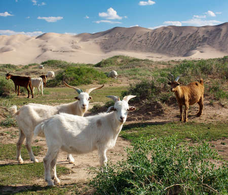 goat - dune - desert - mongolia  photo