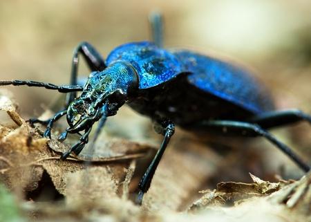 carabus: Ground beetle - Carabus intricatus