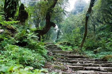 rhododendron: nepalian rainforest with pathway  Stock Photo