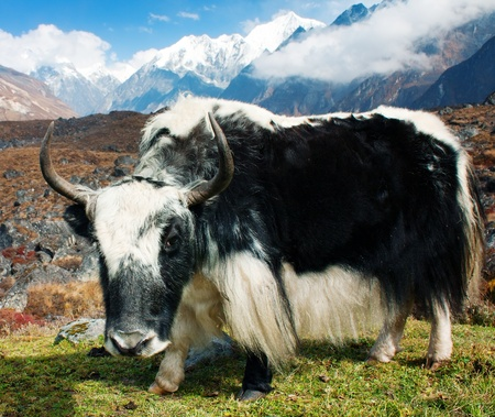 Yak in Langtang valley with Langshisha Ri mout - Nepal  Stock Photo