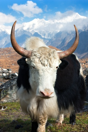 Yak in Langtang valley with Langshisha Ri mout - Nepal  Stock Photo - 12732873