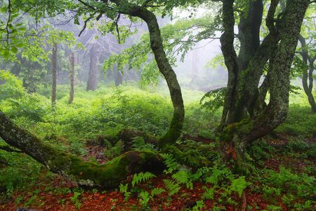broad leaved tree: still-life from rychorsky prales - forest in national park Krkonose mountains Czech republic