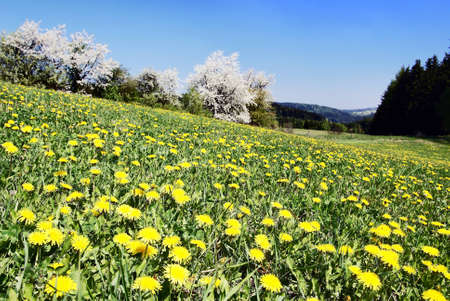 meadow with common dandelions  Stock Photo - 12741888