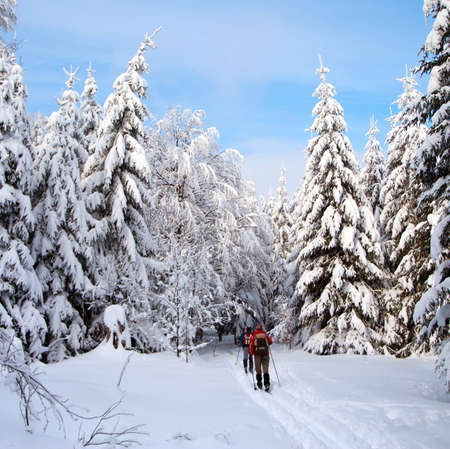 cross country skiing tourist in snow cowered wood  photo