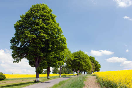 coleseed: field of rapeseed with road and alley