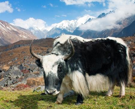 Yak in Langtang valley with Langshisha Ri mout - Nepal  Stock Photo