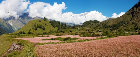 view from annapurna himal to dhaulagiri himal with buckwheat field photo