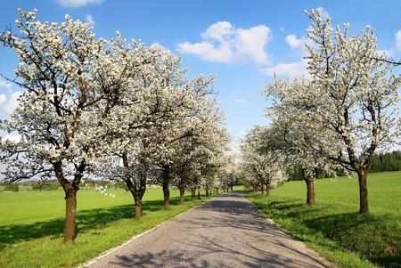 桜の木の路地 写真素材