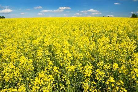 napus: field of rapeseed