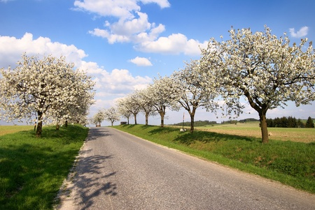 alley of cherry-trees  photo