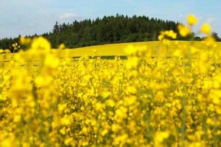 rapaseed: field of rapeseed